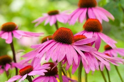 Plantas Depurativas… para limpiarnos por dentro