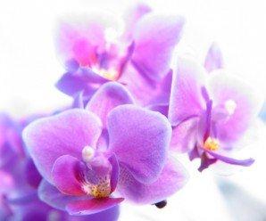 Orquideas para la Casa -Phalaenopsis